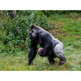 Zoo gorilla plays ball at Paignton Zoo