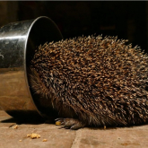 Appeal by Snuffles Hedgehog Rescue Charity for Volunteers