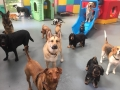 Doggy-Day-care-dogs-looking-alert