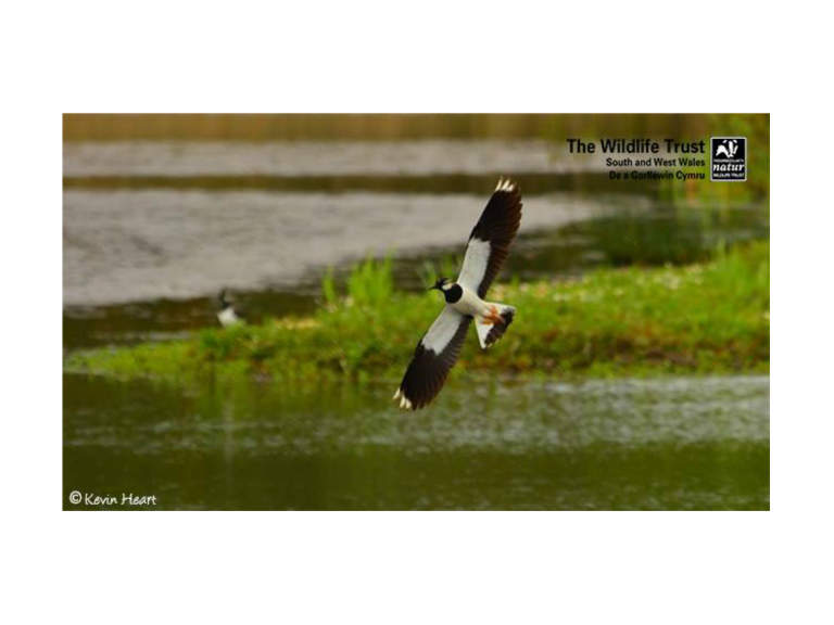 Lapwing Conservation Day