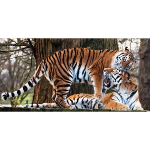 Amur Tiger Charity Weekend
