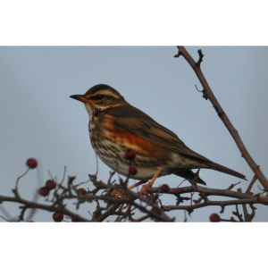 Winter Birds and Thrushes Walk