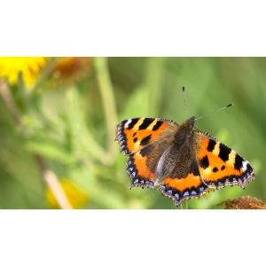 National Meadows Day -  Butterfly Bonanza