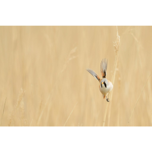 Bearded Reedling and Breakfast Walk
