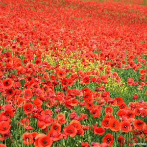 ARMISTICE DAY COMMEMORATION & CELEBRATION CONCERT