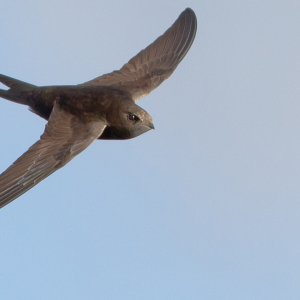 Swifts in Newbury