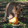 October Half Term at Howletts Wild Animal Park
