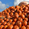 Pumpkin Picking @ Sunnyfields Farm 2020