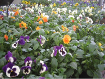 Spring Pansies and Violas – pack of 6 plants, £3.49,or 3 packs for £10 - Lichfield Garden Centre