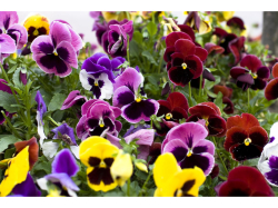 Pansies 6 for £2