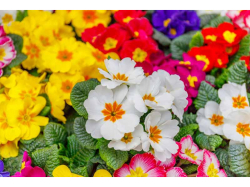 Polyanthus - £2.50 for 6