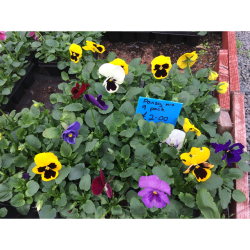 Pansies 9 for £2